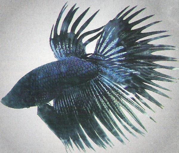 Budidaya Ikan Hias Cupang Betta Splendens Prisai Blog Wallpaper Keren